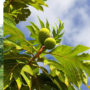 Breadfruit-tree