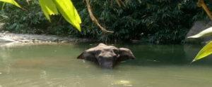 Kerala pregnant elephant