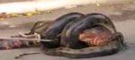 আস্ত কুমিরকে গিলছে অ্যানাকন্ডা, ভাইরাল ভিডিও