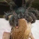 আস্ত একটি পাখিকে গিলে খাচ্ছে একটি বিশালাকার মাকড়সা, ভাইরাল ভিডিও