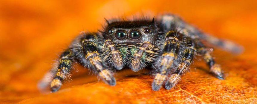 eight eyed spider