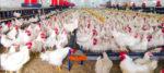করোনার মধ্যেই বার্ড ফ্লু-এর আতঙ্ক, পোলট্রিজাত পণ্যের কেনাবেচা বন্ধের নির্দেশ কেন্দ্রের