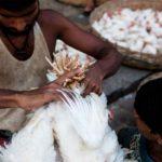 বার্ড ফ্লু আতঙ্কে মুরগির মাংস থেকে মুখ ফেরাচ্ছে বাঙালি, বাজারে কমছে দাম