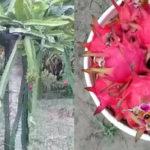 'সর্বরোগহারা' ড্রাগন ফল চাষ করে দক্ষিণ দিনাজপুরের চাষিরা লাভবান হচ্ছেন