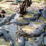 ইয়াসের ধাক্কায় প্লাবিত সুন্দরবনের কুমির ও বিরল প্রজাতির কচ্ছপ প্রজনন কেন্দ্র